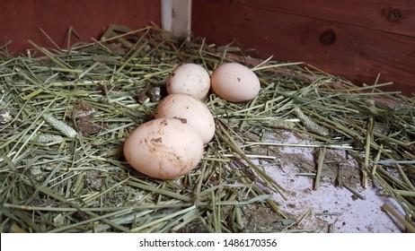 Four little Svart Hona Eggs