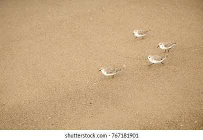 Four little white and brown shore birds running on the beach sand. Sandpipers, Los Angeles, California.