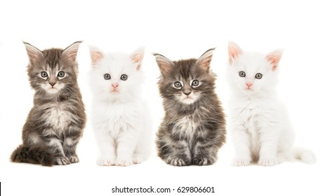 Four main coon baby cat kittens, two tabby and two white, sitting and looking at the camera isolated on a white background