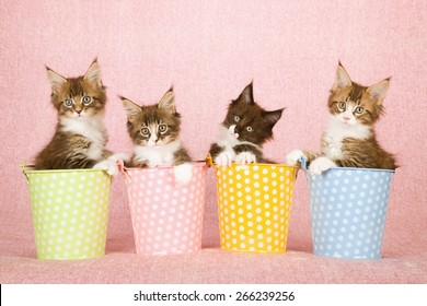 Four Maine Coon kittens sitting inside polka dot buckets pails on pink background