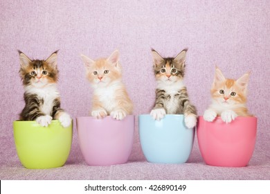 Four Maine Coon kittens sitting inside pastel coloured pots containers vases on pink lilac background