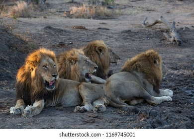 Four male lions together - brothers for life Captured in the Greater Kruger National Park Panthera Leo