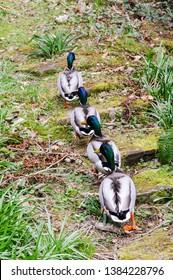 Four male mallard ducks walkin up steps through a forest in a line