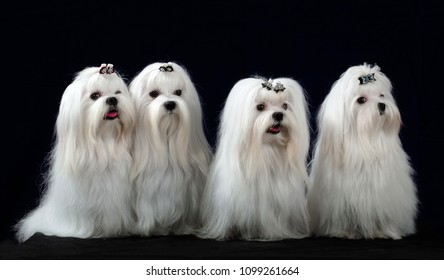 Four Maltese Dogs sit in the studio isolated on a black background looking at the camera.