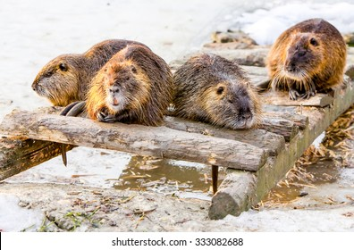 Four Members Of A Beaver Family Taking A Brake After A Good Meal