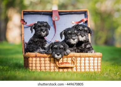 Four miniature schnauzer puppies playing in a suitcase