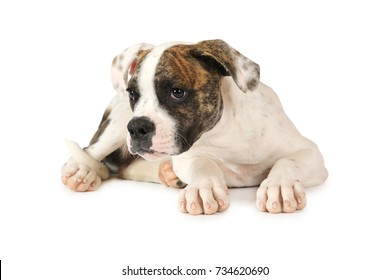 Four months old American Bulldog puppy lying on white background