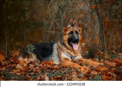 4 Months Old German Shepherd Puppy Images Stock Photos Vectors