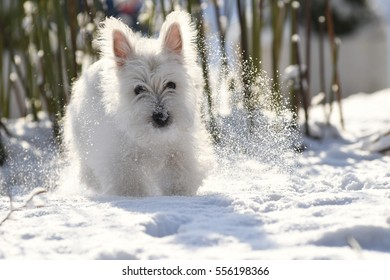 Four months old West Highland White Terrier in snow