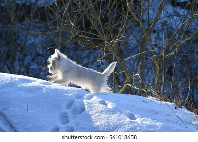 Four months old West Highland White Terrier playing with the snow