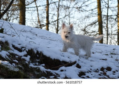 Four months old West Highland White Terrier in forest.