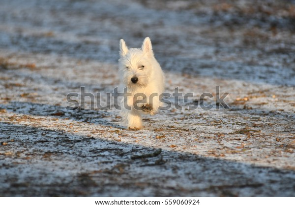 Four months old West Highland White Terrier