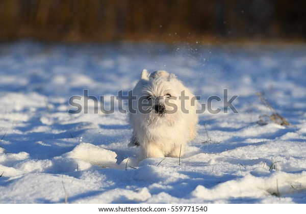 Four months old West Highland White Terrier runs through the snow.