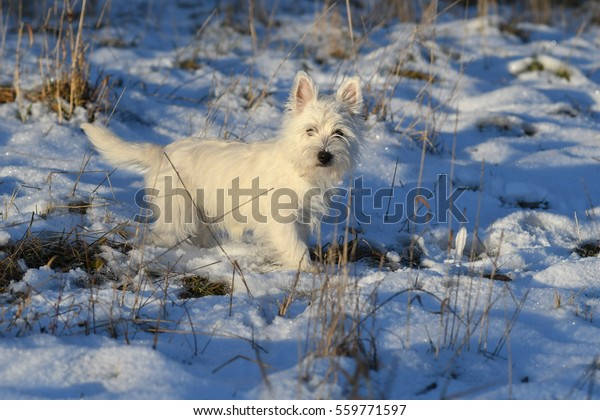 Four months old West Highland White Terrier in the snow.