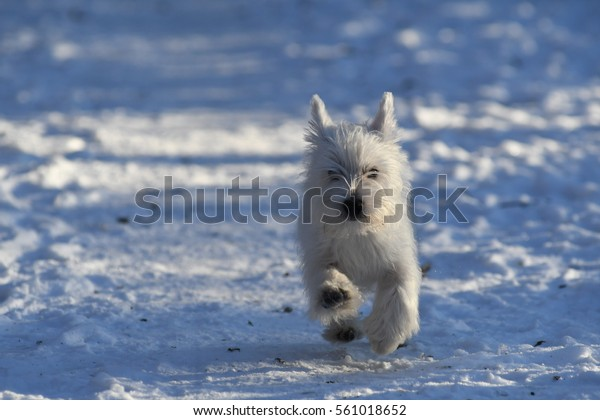 Four months old West Highland White Terrier running in the snow