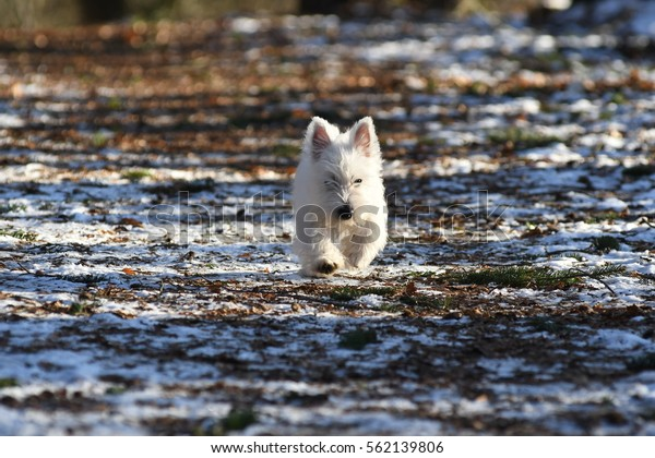 Four months old West Highland White Terrier in forest