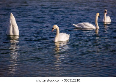 Four mute swans on a row on a wrinkling blue water surface. One bird keeps his head under water while eating from the bottom.