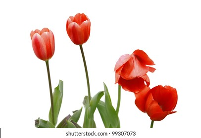 Four newly emerging young tulips isolated on white with room for your text.