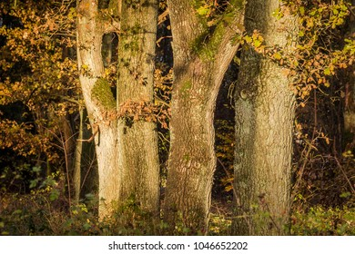 four oak trunks at a sunny afternoon in fall (fine art)