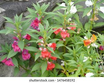 Four o'clock family flowers on the bush