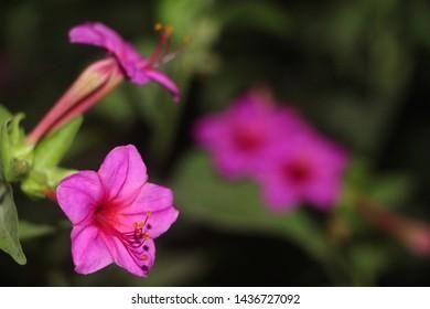 The four o'clock flower(Mirabilis jalapa)..Evening Flowers