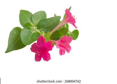 Four o'clock or Marvel of Peru flowers isolated on white background