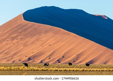 Four ostriches in front of a dune in the Namib Naukluft park in the Namib desert