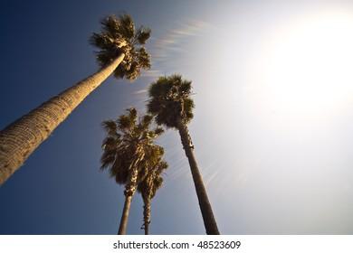 Four Palm Trees In The California Sun