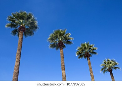 Four Palm Trees in a line against a blue sky