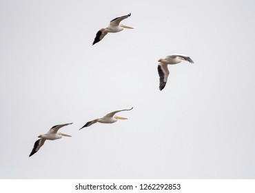 Four pelicans, Pelecanus erythrorhynchos, fly over the Red River National Wildlife Refuge in northwest Louisiana, U.S.A.
