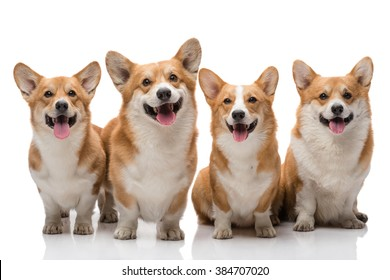 Four pembroke welsh corgi dogs posing on white background all smiling