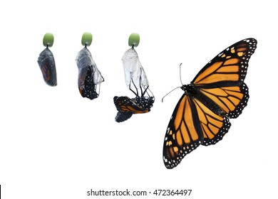 Four photos showing the birthing process of a newborn butterfly. Stages from right before the chrysalis hatches to full open winged butterfly. Pure white, horizontal background, copy space.