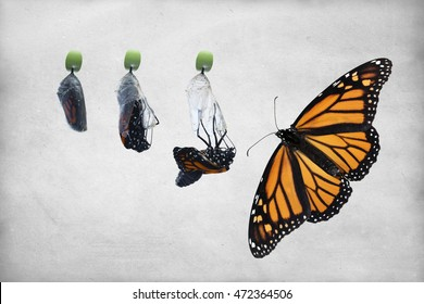 Four photos showing the birthing process of a newborn butterfly. Stages from right before the chrysalis hatches to full open winged butterfly. Vintage, textured, horizontal background, copy space.
