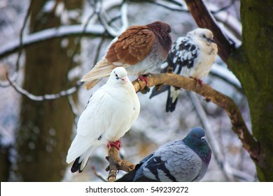 Four pigeons on the tree in winter