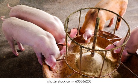 Four pigs are eating food with light.