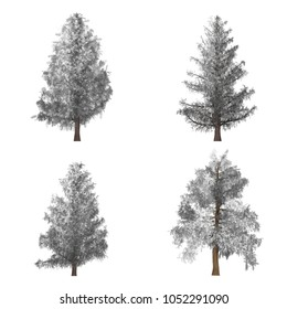 Four pine trees. Winter. Isolated object