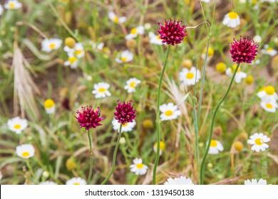 Four pink flowers of round-headed leek or garlic, Allium sphaerocephalon, with sea chamomile at background on the coastal dune