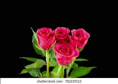 Four pink roses in a bunch and rain soaked with droplets of rain then isolated on a black background.