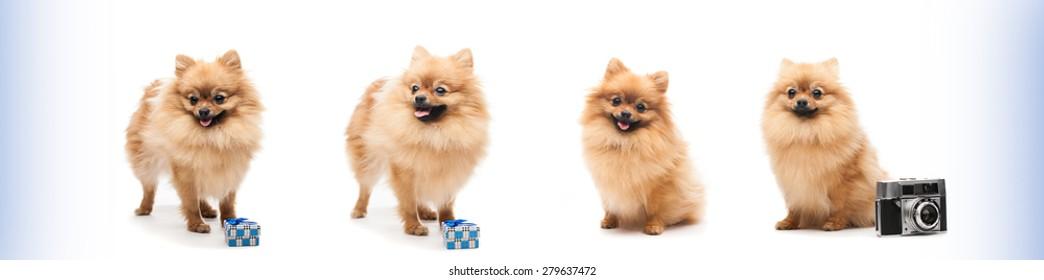 four pom dog.