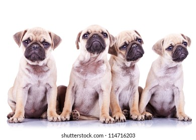 four precious pug puppy dogs sitting on a white background and looking in different directions