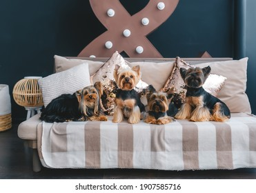 Four pretty yorkie on couch sofa in studio