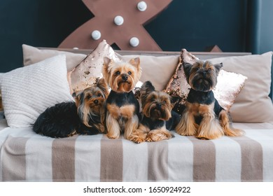 Four pretty yorkie sitting on comfortable sofa indoors. Closeup view