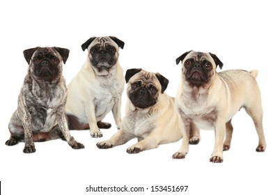 Four pugs dogs isolated