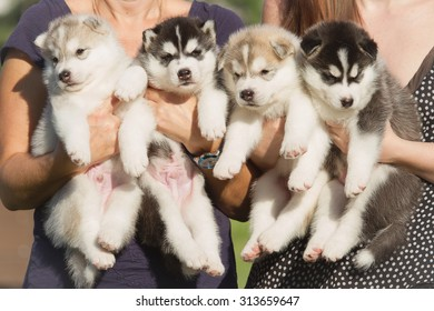 Four puppies Siberian Husky. Litter dogs in the hands of the breeder. Little puppies.