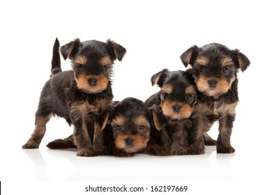 Four puppies of the Yorkshire Terrier on white background