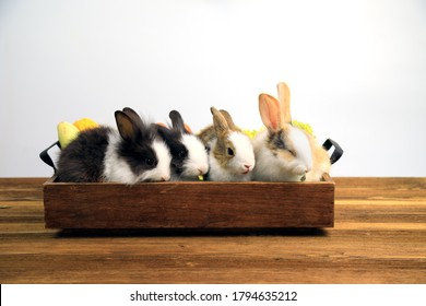 Four rabbits with two tone color sitting together in wooden tary on brown table