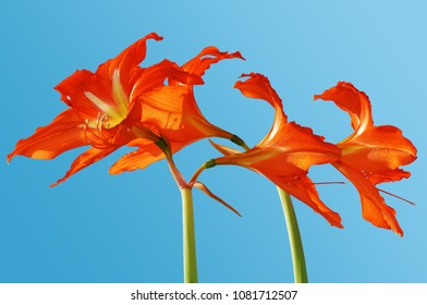 Four red flowers of a hippeastrum against a blue sky.