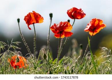 four red poppy in sunny daylight