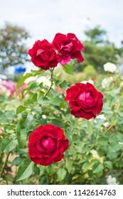 four red rose flower
