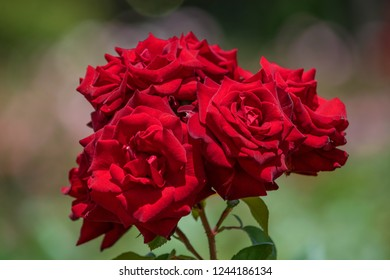 Four red roses in focus with blurred background in bokeh effect. Roses grouped in a pack.